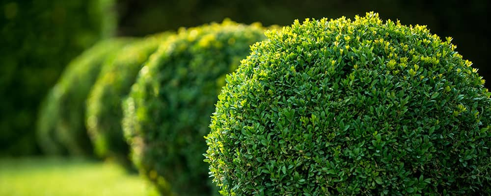 manicured spherical bushes